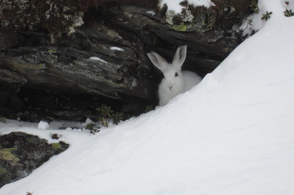 Ein schneeweißer Hase beobachtet und von seiner Steinhöhle aus. Putzig oder nicht?
